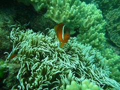 Clown fish protecting its nest