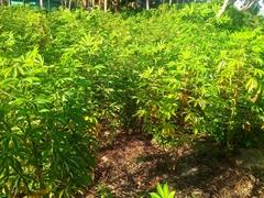 Taro plant; Tavewa Island