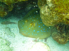 Bluespotted sting ray; Beachcomber Island