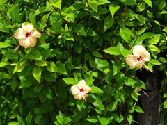 Hibiscus in bloom at Bounty Island Resort