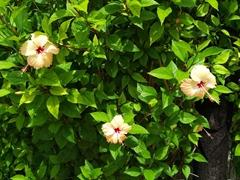 Hibiscus in bloom at Bounty Island Resort