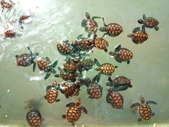Baby hawksbill turtles, part of the marine conservation program of Bounty Island