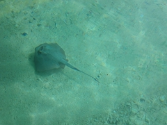 Stingray under our kayak