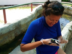 Becky carefully brushes algae off a baby hawksbill turtle