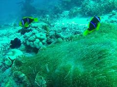 Clark anemone fish