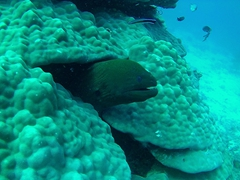 A giant moray eel peers out from the brain coral