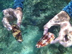 Loads of sea snails to be seen while snorkeling off Taveuni