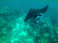 Snorkeling with manta rays!