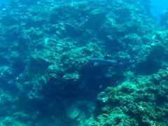 Spotting a white tip reef shark while snorkeling near Koro Sun Resort