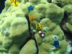 Christmas tree coral