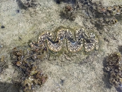 Giant clam; Siga Siga Sands