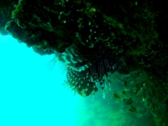 Lionfish near Split Rock; Savusavu