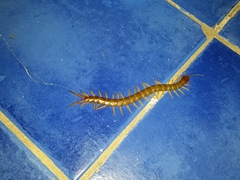 Centipede hiding in Becky's towel!