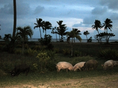 Pigs foraging for food at dusk; Siga Siga Sands