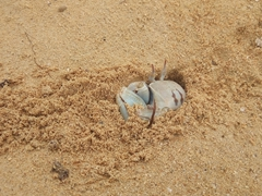 Crab retreating into its hole