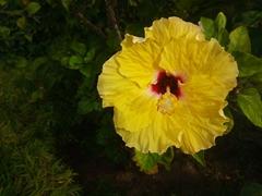 Hibiscus flower; Siga Siga