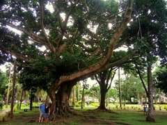 Standing beneath a massive tree at Thurston Gardens; Suva