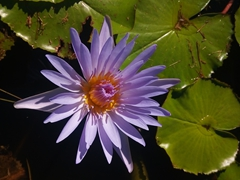 Water lily; Arts Village in Pacific Harbour