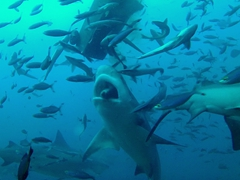 SCUBA diving with an apex predator is a thrill like you wouldn't believe!