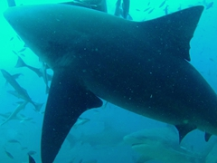 Its hard to guage how massive these bull sharks are but we estimate they range from 12 to 14 feet long