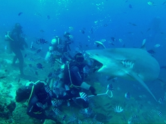 Massive bull shark devouring a fish head