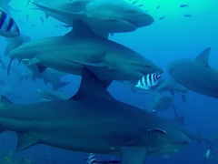 Bull sharks in formation