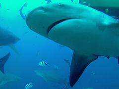 Bull shark checking us out