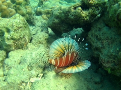Lionfish hunting for prey