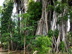 Village chief explains how he traps wild pigs with the magnificent banyan tree as a gorgeous backdrop