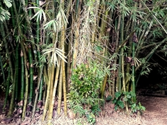 Bamboo forest; Mele Cascades