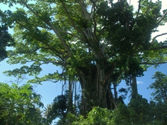 Dozens of massive banyan trees can be found all around the island of Efate