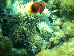 Clownfish protecting its sea anemone