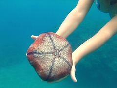 Pin cushion starfish