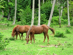 These horses were transported to Pentecost Island from Efate by boat