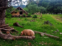 A pig grazes in the front yard