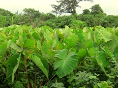 Taro plants - a staple for most Ni-Vanuatu