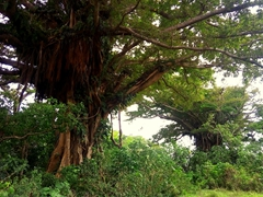 Banyan trees dot the Tanna landscape