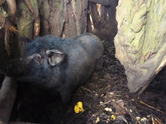 Hog locked up inside a banyan tree's storage area
