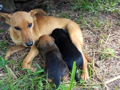 Hungry puppies feeding from their mama; Tanna Magic guesthouse