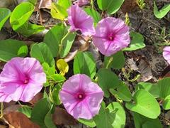 Purple flowers; Vatia
