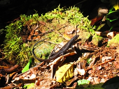 A lizard sunning itself; Mt Alava adventure trail