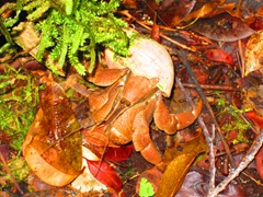Juvenile coconut crab; Mt Alava adventure trail