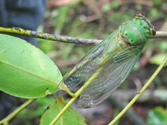 Cicada taking a break from its noise making