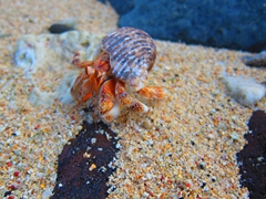 Hermit crab; 2 Dollar Beach