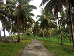Coconut plantation near Alofaaga blowholes