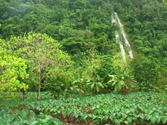 Waterfall flowing next to a taro field; near Lalomanu Beach