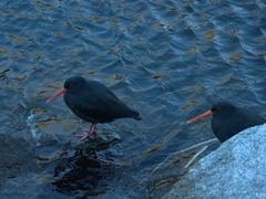 Black oystercatchers shelter from the wind; Milford Sound