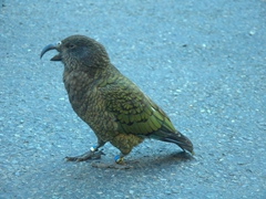 A cheeky kea (alpine parrot) begging for food