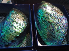 Paua shells for sale, Te Hikoi Southern Journey museum in Riverton