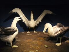 Albatross at the Southland Museum